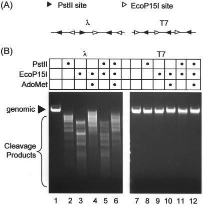 The Type III enzymes EcoP15I and PstII cannot mutually activate cleavage of T7 coliphage DNA. ( A ) Representative schematic (not to scale) of the relative orientation of EcoP15I and PstII sites in lambda (λ) and T7 phage genomic DNA. Site orientations (arrowheads) are defined as in Figure 2A . ( B ) Cleavage of λ and T7 genomic DNA by mixtures of Type III enzymes. 500 ng of λ or T7 phage DNA was mixed with 50 nM EcoP15I and/or 129 nM PstII mixture as shown in the presence of 4 mM ATP. Where indicated AdoMet was added to 100 μM. Following incubation for 1 h at 37°C, substrate and products were separated by agarose gel electrophoresis.