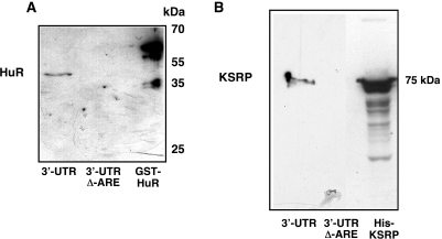 Purification of RNA-bps interacting with the 3′-UTR of the human iNOS mRNA. To purify proteins binding to the 3′-UTR of the human iNOS mRNA affinity chromatographies using biotinylated iNOS 3′-UTR RNA were performed ( 45 , 46 ) as described in Materials and Methods. DLD-1 cells were preincubated for 18 h in medium without FCS and phenol red. Then cells were incubated with the cytokine mixture for 6 h and protein extracts were isolated. These extracts were incubated with biotinylated iNOS 3′-UTR RNA (3′-UTR) or biotinylated iNOS 3′-UTR RNA without the ARE-sequences (3′-UTR Δ–ARE) and streptavidine-agarose beads. After several washing and centrifugation steps the RNA-bps were eluted by 2 M KCl. ( A ) Proofing the applicability of this method western blots using a specific anti-HuR antibody were performed, since HuR is known to interact with the human iNOS 3′-UTR ( 28 ). As a positive control bacterial expressed GST-HuR fusion protein was also loaded on the SDS gel. One representative blot of three different experiments were shown. ( B ) The eluates were tested for the presence of KSRP by western blots using a specific anti-KSRP antibody. As a positive control bacterial expressed His-KSRP fusion protein was also loaded on the SDS gel. One representative blot of three different experiments were shown.