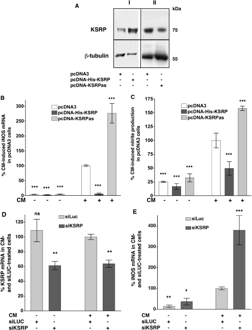 Modulation of KSRP expression alters cytokine-induced iNOS mRNA expression and iNOS-dependent NO-production. Plasmid constructs allowing high level expression of sense (pcDNA-His-KSRP) or antisense (pcDNA-KSRPas) KSRP cDNA were stably transfected into DLD-1 cells. Cells transfected with the pcDNA3 vector backbone (pcDNA3) were used as controls. For analysis of iNOS expression pools of stable transfected cell were preincubated for 18 h in medium without FCS and phenol red. Then cells were incubated with (CM) or without (Co) the cytokine mixture for 6 h, RNA was isolated and iNOS and GAPDH mRNA expression was analyzed. To determine iNOS-mediated NO-production cells were incubated for 24 h with or without CM and the supernatant of the cells was analyzed for nitrite content. As another approach to downregulate KSRP expression the RNA interference technique was used. DLD-1 cells were transfected with siRNA directed against luciferase (control, siLUC) or KSRP (siKSRP). After 24 h the transfected cells were preincubated for 18 h in medium without FCS and phenol red. Then the cells were incubated with or without CM for 6 h, RNA was isolated and iNOS, KSRP and GAPDH mRNA expression was analyzed by real-time RT–PCR. ( A ) Western blots using specific anti-KSRP- and anti-β-tubulin antibodies and extracts from the stable transfected DLD-1 cell pools. The blots are representative of four other blots showing similar results. The positions of KSRP and β-tubulin are indicated. ( B ) A summary of 10 qRT–PCR analyses is shown using RNAs form DLD-1-pcDNA3 (pcDNA3), DLD-1-pcDNA-His-KSRP (pcDNA-His-KSRP) or DLD-1-pcDNA3-KSRPas (pcDNA-KSRPas) cells. Data (means ± SEM) represent relative iNOS mRNA levels ( *** P