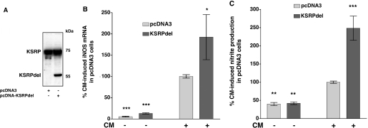 Overexpression of a KSRP mutant which is not able to bind to RNA enhances iNOS expression. Plasmids allowing high level expression of a mutant KSRP protein not able to bind to RNA (KSRPdel) were stably transfected into DLD-1 cells. Cells transfected with the pcDNA3 vector backbone (pcDNA3) were used as controls. For analysis of iNOS expression pools of stable transfected cell were preincubated for 18 h in medium without FCS and phenol red. Then cells were incubated with (CM) or without (Co) the cytokine mixture for 6 h, RNA was isolated and iNOS and GAPDH mRNA expression was analyzed by real-time RT–PCR. To determine iNOS-mediated NO-production cells were incubated for 24 h with or without CM and the supernatant of the cells was analyzed for nitrite content. ( A ) Pooled populations of pcDNA3- or pcDNA-KSRPdel cells were analyzed for KSRP expression by western blots using specific anti-KSRP antibodies. One representative blot out of three is shown. ( B ) A summary of 5 qRT–PCR analyses is shown using RNAs from DLD-1-pcDNA3 (pcDNA3) or DLD-1-pcDNA3-KSRPdel (KSRPdel) cells. Data (means ± SEM) represent relative iNOS mRNA levels ( * P