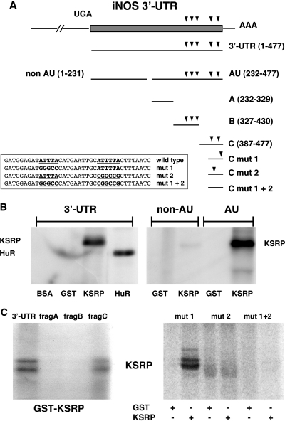 Analysis of the KSRP binding site in the human iNOS 3′-UTR RNA. Purified BSA, glutathione-S-transferase (GST), and GST-KSRP or GST-HuR fusion proteins were incubated with different radiolabeled RNAs generated by in vitro transcription using the different iNOS 3′-UTR fragments shown in Figure A. After binding, proteins were UV crosslinked to the RNA and the complexes were digested with RNase. RNA–protein complexes were separated on SDS–polyacrylamide gels. ( A ) Structure of the human iNOS 3′-UTR mRNA and fragments used in RNA binding studies. Scheme of the human iNOS 3′-UTR mRNA (477 nt) and transcripts used in RNA binding studies. The initial UGA nucleotide sequence (−3 to −1) corresponds to the translation termination codon. AUUUA and AUUUUA repeats are indicated by arrowheads. The sequences of different mutations in fragment C are shown. ( B ) KSRP binds to the AU-fragment of the human iNOS 3′-UTR. 32 P-radiolabeled RNA transcripts [3′-UTR; non-AU; AU; see (A)] were incubated with BSA, GST, GST-KSRP fusion protein (KSRP) or GST-HuR fusion protein (HuR). The positions of RNA–protein complexes are indicated. ( C ) KSRP binds to the most 3′-located ARE in the human iNOS 3′-UTR. 32 P-radiolabeled 3′-UTR, subfragment A (232–319, frag A), subfragment B (317–420; frag B) or subfragment C (387–477; frag C) were incubated with GST-KSRP (GST-KSRP) protein. The positions of RNA–protein complexes are indicated (left side). 32 P-radiolabeled RNA transcripts (5′-ARE mutated: mut 1; 3′-ARE mutated: mut 2; both AREs mutated: mut 1 + 2) were incubated with either GST or GST-KSRP fusion protein (KSRP). The positions of RNA–protein complexes are indicated (right side).