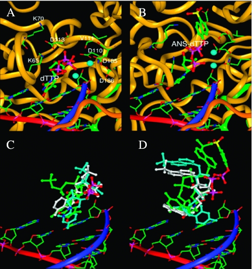 The modeled structures of dTTP and ANS-dTTP within the HIV-RT ternary complex. The backbone structures of p66 and p51 are rendered in brown and green ribbons, respectively, and the DNA template and primer backbone structures are rendered in red and blue ribbons. ( A ) The final conformation of the modeled structure containing dTTP displayed at the same viewing angle as in Figure 4A . ( B ) The final conformation of the modeled structure containing ANS-dTTP displayed at the same viewing angle as in Figure 4B . ( C ) Comparison of the dTTP structure with the modeled, non-complementary structures. ( D ) Comparison of the ANS-dTTP structure with the modeled, non-complementary structures. For clarity, panels C and D do not show the p66 and p51 domains or the two Mg 2+ ions. In panels C and D the dNTP and ANS-dNTP structures for A, C, and G are colored in white, cyan, and green, respectively, while the rest of the atoms are colored as in Figure 4 .