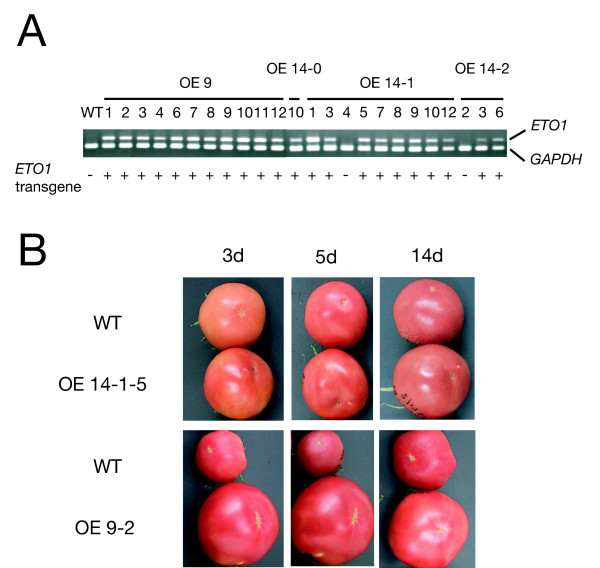 Transgenic tomato plants that overexpress the ETO1 transgene did not show altered fruit ripening . A. Expression of the ETO1 transgene in leaves of T 1 individuals. Expression of ETO1 was analyzed by RT-PCR. GAPDH was used as an internal control. One microgram of total RNA was used for each reaction. WT: wild type ( Lycopersicon esculentum cv. Shu-gyoku); OE 9, OE 14-0, OE 14-1, OE 14-2 represent independent T 0 transformants. Numbers under the horizontal lines represent T 1 segregating individuals derived from the corresponding T 0 parents. Genotyping for the ETO1 transgene was also performed by PCR and shown under the photograph. B. Representative phenotype of two independent T 1 progenies of ETO1 transgenic tomato (line #14-1-5 and #9-2) and wild type (WT). Fruits were harvested at breaker stage and allowed to ripen for further days as indicated.