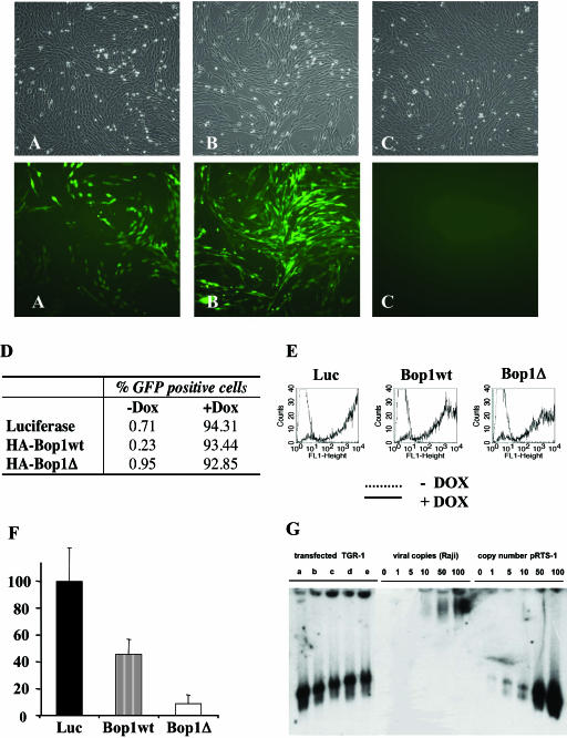 TGR-1 cells were transfected with 6 μg pRTS-1 DNA and expanded in 200 μg/ml hygromycin B for 4 weeks either in the presence ( A ) or in the absence of Dox ( B and C ). Cells expanded in the absence of Dox were treated with 1 μg/ml Dox for 24 h (B), or left untreated (C). Cells were visualized by light microscopy (upper panels of A, B and C) and fluorescence microscopy (lower panels). In (D–F), TGR-1 cells were transfected with 6 μg of either the vector expressing luciferase (pRTS-1), or, instead of luciferase, the gene encoding the nucleolar protein Bop1 wt, or its N-terminal deletion mutant Bop1Δ. Transfected cells were expanded under hygromycin B selection (200 μg/ml) for 2 weeks and eGFP expression determined by flow cytometry 24 h after the addition of Dox ( D and E ). ( F ) Equal numbers of cells transfected with luciferase, Bop1, and Bop1Δ were plated, Dox added and cell numbers determined after 6 days. The data are presented as percentage of control cells expressing luciferase. ( G ) Episomal replication of the plasmids was visualized by gel electrophoresis in 1% agarose after lysis of the cells in the gel ( 22 ). To evaluate the copy number, different number of Raji cells were included as well as TGR-1 cells to which different amounts of pRTS-1 had been added. Lanes (a)–(e) contain TGR-1 cells transfected with pRTS-1 (a), and vector expressing the nucleolar proteins or mutants WDR12 (b), WDR12 ΔNle (c), Bop1 (d) and Bop1Δ (e).
