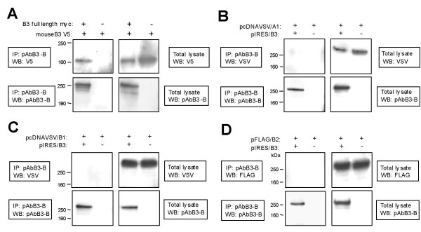Co-immunoprecipitation (IP) experiments showing homophilic interaction of human and murine B3 and no interaction of B3 with plexins A1, B1 or B2 . Total lysates and IPs were analyzed by Western blot (WB) using antibodies as indicated in the figures. IP was performed with pAbB3-B against human B3 and shows interaction between mouse and human B3 and no interaction between B3 and human plexins A1, B1 and B2. (A) Cells were co-transfected with pSecTag2B/B3 encoding myc-tagged human full-length B3 and pcDNA3.1/mB3 encoding V5-tagged mouse B3 lacking most of its intracellular part. Cells transfected with pcDNA3.1/mB3 and pSecTag2B vector without insert served as negative control. (B) COS-7 cells were co-transfected with pIRES/B3 encoding non-tagged full-length human B3 and pcDNAVSV/A1 encoding VSV-tagged full-length human plexin A1. Cells co-transfected with pcDNAVSV/A1 and pIRES vector without insert served as negative control. (C) COS-7 cells were co-transfected with pIRES/B3 and pcDNAVSV/B1 encoding VSV-tagged full-length human plexin B1. Cells co-transfected with pcDNAVSV/B1 and pIRES vector without insert served as negative control. (D) COS-7 cells were co-transfected with pIRES/B3 and pFLAG/B2 encoding FLAG-tagged full-length human plexin B2. Cells co-transfected with pFLAG/B2 and pIRES vector without insert served as negative control.