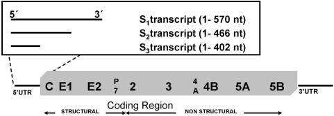 Organization of the HCV genome and localization of HCV transcripts in the viral genome. Relative location of the 5′-UTR structural genes (C, Core; E1 and E2, envelope genes 1 and 2), the p7 coding region and non-structural genes (NS2 to NS5) and the 3′-UTR. S 1 (1–570), S 2 (1–466), S 3 (1–402) have been used as substrates in the E.coli RNase III assays. All transcripts initiate at the first base of the HCV genome, contain the complete 5′ UTR and expand to different sites within the Core-coding region.