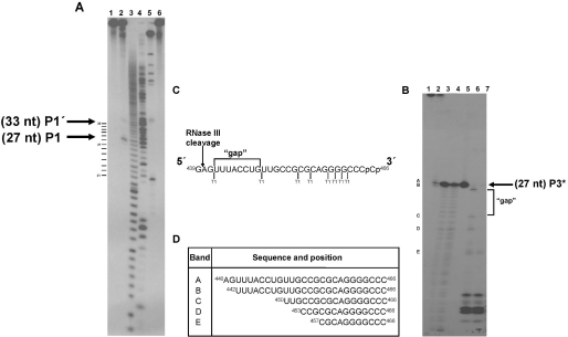 Determination of the cleavage sites in the HCV transcript. ( A ) To determine the cleavage sites near the 5′ end, a 'Cap' labeled S 1 was prepared. Lane 1, S 1 RNA transcript alone incubated on ice; lane 2, S 1 incubated with RNase III (see conditions in Figure 2 ). Arrows indicate the most prominent bands (P1, P1′); lane 3, alkaline hydrolysis reaction; lane 4, S 1 RNase P1 reaction; lane 5, RNA molecular weight markers composed of transcripts with a length of 21, 40, 69, 76, 77, 109 and 135 nt; lane 6, S 1 incubated under 'working' conditions buffer without enzyme. Samples were electrophoresed on a 20% denaturing polyacrylamide gel. The RNase III cleavage products (with expected 3′ OH end groups) run between two alkaline hydrolysis products (mixtures of RNA fragments with 3′P and 2′P end groups), and have been numbered according to the band running faster. Further experiments based on fingerprinting of internally labeled RNA are in progress to confirm the cleavage position presented here. ( B ) For determination of the cleavage site near the 3′ end, the S 2 (1–465) transcript was labeled with 32 pCp at its 3′ end with the T4 RNA ligase, cleaved with RNase III, and the most 3′-proximal product P3 * (indicated by an arrow) gel purified on a 20% denaturing polyacrylamide gel. Lane 1, S 2 transcript on ice; lane 2, S 2 treated with RNase III (standard conditions); lane 3 and 4, partial hydrolysis of P3 * with OH − after incubations of 4 and 8 min, respectively; lane 5, P3 * alone; lanes 6 and 7, partial digestions with nuclease T1 at 0.01 and 0.02 µg/µl final concentrations, respectively. The product bands of RNase T1 identified as A, B, C, D, E, at the left of the electrophoresis gel are described in ( D ). ( C ) Representation of the 3′ end RNA sequence of S 2 containing the P3 * fragment. RNase T1 cleavages after every G-residue are marked. A gap of 8 nt between the B and C product bands in the gel could be clearly positioned between positions U 442 and G 450 , the