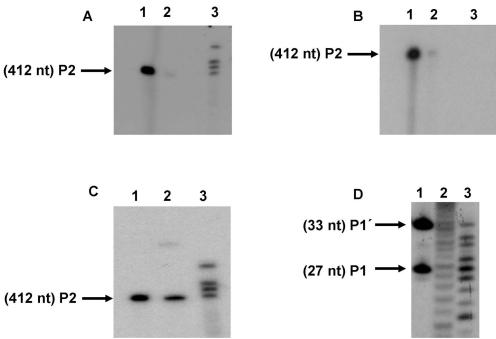 Biochemical characterization of HCV RNase III cleavage product end-groups. S 1 was internally labeled at low specific radioactivity and cleaved with RNase III. P2 purified from the gel was subjected to different specific enzymatic reactions to determine chemical groups of the ( A ): 3′ end. Lane 1, P2 labeled with [ 32 P]pCp and T4 RNA ligase; lane 2, P2 alone; lane 3, control bands resulting from a standard reaction of RNase III on S 1 . ( B ) 5′ End. Lane 1, P2 central product band labeled with T4 polynucleotide kinase and [γ- 32 P]ATP after treatment with alkaline phosphatase; lane 2, P2 was identically treated as before without prior incubation with alkaline phosphatase; lane 3, P2 untreated. ( C ) 3′ and 5′ ends by P2 product circularization: lane 1, P2 alone; lane 2, P2 circularization with T4 RNA ligase. The band that corresponds to circularized P 2 migrates more slowly than the starting material; lane3, standard RNase III reaction. ( D ) Coincident mobility of the 5′-terminal RNase III and nuclease P1 cleavage products of substrate S 1 5′ Cap labeled S 1 incubated with: lane 1, RNase III (the positions of the products P1 (27 nt) and P1′ (33 nt) are indicated by arrows); lane 2, OH − hydrolysis; lane 3, nuclease P1 treatment.