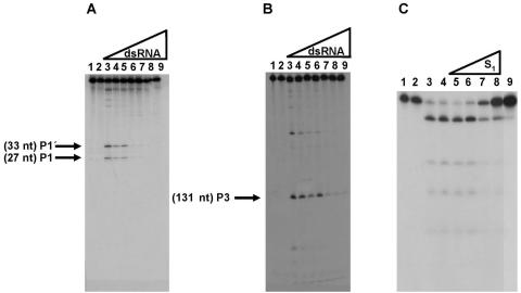Competition assays. (A and B) dsRNA competes with and inhibits the RNase III-specific cleavage of HCV RNA. Cleavage by RNase III of S 1 transcript labeled at ( A ) 5′ end; ( B ) 3′ end, in the presence of increasing concentrations of competitor dsRNA. (A) Lanes 1 and 2 correspond to 5′ end-labeled RNA alone (incubated on ice) and incubated with buffer, respectively; lane 3, standard reaction with RNase III; lanes 2–9, cleavage reactions using a constant concentration of S 1 (10 ng) and increasing concentrations of dsRNA (20, 40, 60, 80, 100 and 120 ng, respectively). (B) Identical to (A) but using 3′ end-labeled S 1 . ( C ) Reverse competition of RNase III cleavage of T7 R1.1 RNA with HCV RNA. A constant amount of a 60 nt fragment of T7 R1.1 RNA (internally labeled) was cleaved in the presence of increasing concentrations of HCV RNA S 1 without label. Lane 1 and 2, RNA T7 R1.1 alone or incubated with buffer, respectively; lane 3, standard RNase reaction, but with final concentration of RNase III of 0.0001 U/µl; lane 4, standard reaction with RNase III (0.0005 U/µl); lanes 5–9, RNase III cleavage of a constant concentration of T7 R1.1 RNA (1.8 nM) and increasing concentrations of S 1 RNA (0.45, 0.9, 1.8, 3.6 and 7.2 nM respectively); lane 9, inhibition of T7 R1.1 RNA cleavage with 300 ng of Penicillium chrysogenum dsRNA (positive control).