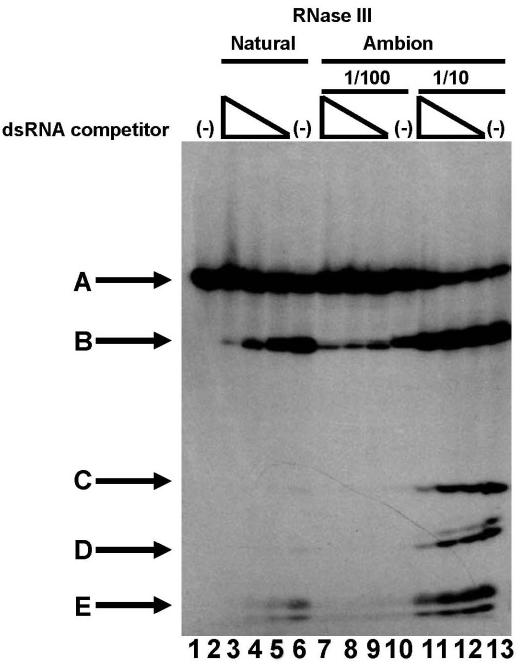 Characterization of commercial RNase III secondary cleaving activity in comparison to the natural enzyme. Activity of the natural and commercial RNase III in buffer under working conditions (lower salt). Lane 1 is the R1.1 substrate incubated in buffer alone—it runs as band A. Lanes 2–4, natural RNase III and R1.1 substrate incubated in the presence of 9, 3 and 1 µg of poly(I–C) dsRNA competitor; lane 5, control reaction with no dsRNA; lanes 6–9 all contain substrate and 1 µl of Ambion RNase III at a 1/100 dilution; lanes 6–8 contain decreasing dsRNA competitor as in lanes 2–4, while lane 9 contains no dsRNA; lanes 10–13 are identical to lanes 6–9, except that they contain 1 µl of 1/10 Ambion RNase III. At the lower enzyme: substrate ratio, bands C and D are only faintly present, and they disappear at once when the dsRNA competitor is added.