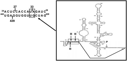 Diagram including the proposed structural motif which contains both RNase III cleavage domains and encloses the HCV IRES. On the left is shown the interaction between nt 24 and 38 of the 5′ (UTR) with the nt 428–442 of the HCV Core–coding sequence. The arrows represent the RNase III cleavage sites. The 'loop' is shown within a box on the right of the figure. Symbol 'P' refers to the cleavage position of human RNase P, which is another RNA structure dependent nuclease. After the annealing, both RNase III and RNase P cleavage sites became in close proximity.
