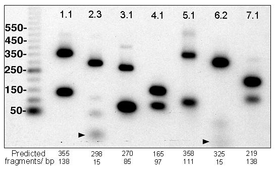 Validation of Kir isoform typing with reporter enzyme ScrF I. Degenerate PCR with sub-family centred primers was performed on Kir subclone templates and products were T4 DNA polymerase end-labelled according to Materials and Methods . Diagnostic restriction digests were performed using ScrF I and an isoform specific duplex banding pattern generated consistent with the predicted banding patterns described in Figure 1 . Faint low MW fragments (