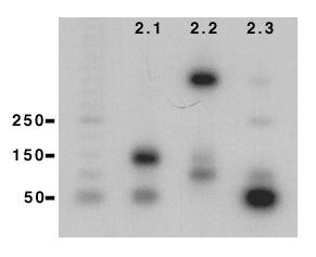Increasing efficiency of detection of low MW restriction fragments. Using <t>Klenow</t> <t>DNA</t> polymerase and a probe with a sub-family specific 3' end and 10x G residues at the 5' end, the efficiency of the labelling reaction could be increased ten fold. Degenerate sub-family centred PCR was performed using the Kir 2.0 subclones as template, labelled as described in Materials and Methods, and digested with Hinf I. Low molecular weight fragment (
