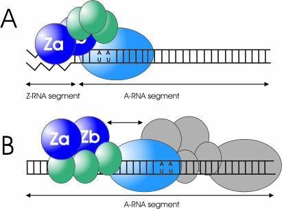 Model for the interaction of ADAR1-L with Z-motif containing or lacking substrate ( A ) The Zα motif binds with high-affinity to the Z-motif within the (CG) 6 -containing dsRNA substrate, thereby restricting the movements of the catalytic domain (sky blue) and causing a modification pattern that is shifted towards the 5′ end of the substrate molecule. ( B ) A double-stranded A-RNA substrate is bound by the dsRBDs (teal) with high-affinity, but without sequence specificity, allowing ADAR1 to move along the length of the substrate.