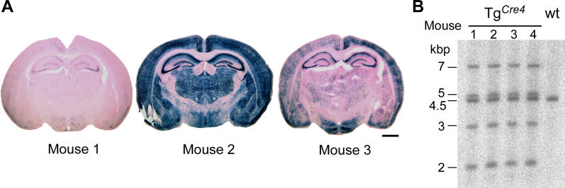 Variability of Cre Expression of Mouse Line Tg Cre4 (A) Variable Cre expression in forebrains of three different mice positive for Tg Cre4 and R26R Cre indicator (see Figure S1 ) at postnatal day 12 pictured by the Cre-dependent β-galactosidase activity (blue, X-gal, counterstain by eosin) in coronal brain slices. Scale bar: 1.25 mm. (B) Southern blot analysis of BglII-digested genomic mouse DNA of four Tg Cre4 mice that differed in the Cre expression pattern. Southern probe detects the wild-type (4.5 kbp) and the transgenic (7, 5, 3, and 2 kbp) alleles.