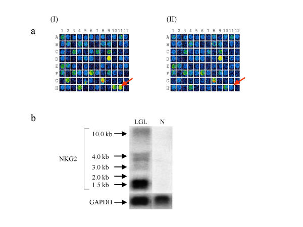 a). A portion of a scanned cDNA microarray showing the differential expression of NKG2 C. The cDNA fragment spotted on position H11 correspond to NKG2 C. (I) Hybridization pattern for LGL patient. (II). Hybridization pattern for control. b). Northern Blot showing the expression of NKG2 family members. The probe used was the same as the one spotted on the microarray. Lane LGL = total RNA isolated from LGL leukemia patients (LGL). Lanes N = total RNA isolated from normal healthy controls.