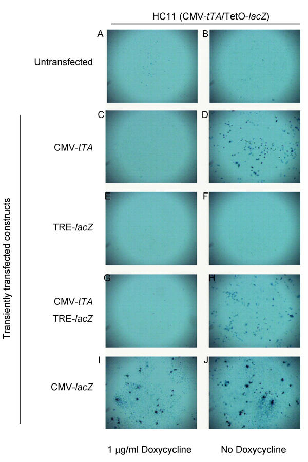 Lack of tTA expression prevents β-galactosidase induction in HC11(CMV- tTA /TRE- lacZ ) cells. The cells were transiently transfected with the indicated constructs and were cultured either in the presence ( A , C , E , G , H , I ) or absence ( B , D , F , H , J ) of 1 μg/ml doxycycline for 48 hours. The CMV- lacZ expression vector was used as a positive control for β-galactosidase expression. The cells were fixed and stained for β-galactosidase expression using X-gal 48 hours after transfection.