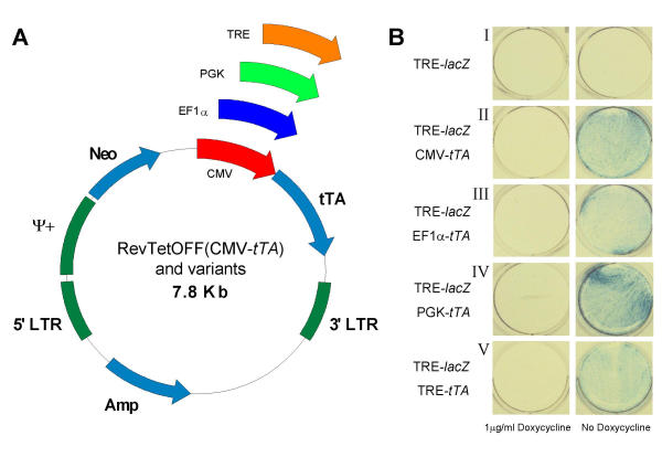 Generation and analysis of modified RevTetOFF constructs. ( A ) Three additional constructs were generated in which the CMV promoter was replaced by either the elongation factor 1-alpha or phosphoglycerate kinase-1 promoters, or a tetracycline responsive element. ( B ) Parental HC11 cells were transiently co-transfected with the indicated constructs and maintained for 48 hours in the presence of absence of 1 μg/ml doxycycline. The cells were fixed and stained for β-galactosidase expression using X-gal 48 hours after transfection.