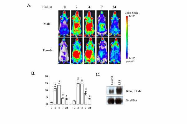Imaging analysis of luciferase expression in I κ B α- luc transgenic mice treated with LPS. A. I κ B α- luc transgenic mice were imaged at T = 0, 2, 4, 7 and 24 hours after treatment with LPS (1 mg/kg, i.p ., n = 4 for males, n = 6 for females). Representative mice from each treatment group are shown. The color overlay on the image represents the photons/second emitted from the mouse body in accord with the pseudo-color scale shown on the right of the images. Red represents the highest photons/sec while blue represents the lowest photons/sec. B. Quantification of the luciferase signal from the abdominal region of the body. Data are means luciferase activity (billion photon/second) ± SE. Statistical analysis was done for male and female combined data. * indicates a significant induction of luciferase signal by LPS (P = 0.002). C. Northern blot analysis of IκBα mRNA in the liver tissue. Liver tissue was harvested from saline (control) or LPS treated I κ B α- luc female mice at 4 hours after treatment and processed for RNA isolation. A total of 2 μg of RNA was analyzed by Northern blot. Equal loading was demonstrated by 28S rRNA.