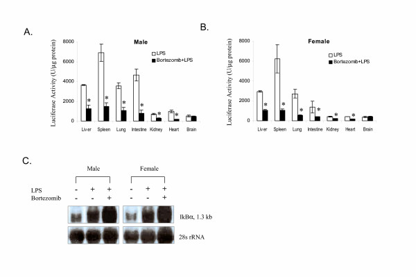 Effect of bortezomib pre-treatment on the LPS-induced luciferase activity in selected tissues in I κ B α- luc male ( A ) and female ( B ) mice (n = 3 for both genders). Mice were injected with bortezomib (1 mg/kg, i.v .) 1 hour prior to the LPS treatment (1 mg/kg, i.p .). Mice treated with LPS alone were used as positive controls. Organs were harvested from all the mice at 3 hours after the LPS injection and processed for luciferase activity.* indicates a significant reduction in signal by bortezomib (P = 0.05). C. Northern blot analysis of IκBα mRNA in the liver tissue. I κ B α- luc transgenic mice were sacrificed at 3 hours after LPS injection. Liver tissue was harvested and processed for RNA isolation. A total of 2 μg of RNA was analyzed by Northern blot. Equal loading was demonstrated by 28S rRNA.