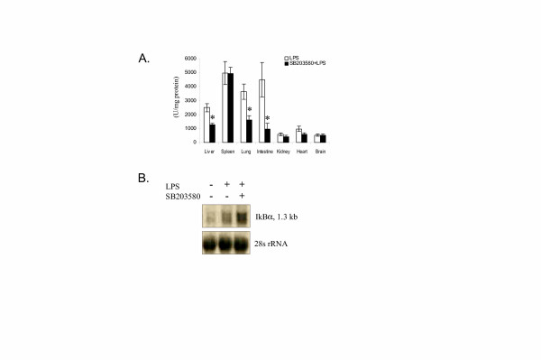 Ex vivo measurement of the effect of SB203580 on LPS-induced luciferase expression. A. Selected organs were harvested from SB203580 pre-treated mice and LPS treated control mice at 4 hours after the LPS injection. * indicates a significant difference between vehicle (DMSO) + LPS and SB203580 + LPS (p = 0.05; sign test). B. Northern blot analysis of IκBα mRNA in the liver tissue. I κ B α- luc transgenic mice were sacrificed at 3 hours after LPS injection. Liver tissue was harvested and processed for RNA isolation. A total of 2 μg of RNA was analyzed by Northern blot. Equal loading was demonstrated by 28S rRNA.