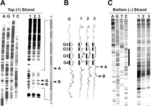 In vitro footprinting of the VEGF promoter region with DNase I. ( A ) Autoradiograms showing DNase I cleavage sites on the top strand of a supercoiled pGL3-VEGF plasmid. The plasmid DNA was incubated in the absence of salt (lane 1), or in the presence of 100 mM KCl without (lane 2) and with (lane 3) 1 µM telomestatin at 37°C for 1 h before digesting with DNase I. DNase I cleavage sites were mapped using linear amplification by PCR with 32 P-labeled gene-specific plasmid DNA pretreated with DNase I. Arrows A and B indicate the hypersensitive cleavage sites to nucleases. ( B ) Densitometric scanning of the autoradiogram in (A). The bars indicate the guanine repeats involved in the formation of the G-quadruplex structures. Arrows A and B indicate the hypersensitive cleavage sites to nucleases. ( C ) Autoradiograms showing DNase I cleavage sites on the bottom strand of a supercoiled pGL3-VEGF plasmid. The designation of lanes 1–3 was as in ( A ) above. DNase I cleavage sites were mapped using linear amplification by PCR with 32 P-labeled gene-specific plasmid DNA pretreated with DNase I. The vertical bar next to the gel indicates the polypyrimidine tract.