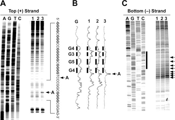 In vitro footprinting of the VEGF promoter region with S1 nuclease. ( A ) Autoradiograms showing S1 nuclease cleavage sites on the top strand of a supercoiled pGL3-VEGF plasmid. Arrow A indicates the hypersensitive cleavage sites to S1 nuclease. ( B ) Densitometric scanning of the autoradiogram in (A). The plasmid DNA was incubated in the absence of salt (lane 1) or in the presence of 100 mM KCl without (lane 2) and with (lane 3) 1 µM telomestatin at 37°C for 1 h before digesting with S1 nuclease. S1 nuclease cleavage sites were mapped using linear amplification by PCR with 32 P-labeled gene-specific primers on plasmid DNA pretreated with S1 nuclease. Arrow A indicates the hypersensitive cleavage sites to S1 nuclease. ( C ) Autoradiograms showing S1 cleavage sites on the bottom strand of a supercoiled pGL3-VEGF plasmid. The designation of lanes 1–3 was as in (A) above. The vertical bar next to the gel indicates the polypyrimidine tract and the arrows indicate the S1 nuclease hypersensitivity sites.