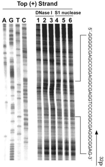 In vitro footprinting of the mutant VEGF promoter region with DNase I and S1 nuclease. Autoradiograms showing DNase I (lanes 1–3) and S1 (lanes 4–6) cleavage sites on the top strand of a supercoiled pGL3-VEGFM17 plasmid. This plasmid was incubated in the absence of salt (lanes 1 and 4) or in the presence of 100 mM KCl without (lanes 2 and 5) and with (lanes 3 and 6) 1 µM telomestatin at 37°C for 1 h before digesting with nucleases. Nuclease cleavage sites were mapped using linear amplification by PCR with 32 P-labeled gene-specific primers on mutant plasmid DNA pretreated with S1 nuclease or DNase I.
