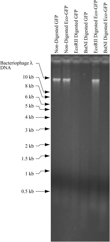 Detection of M.EcoRII activity from the M.EcoRII–GFP fusion expression vector. After 21 days of selection with 0.5 µM puromycin, fluorescent cells were harvested and genomic DNA was prepared. The DNA was digested with the isoschizomers R.EcoRII and R.BstNI. In this pair, R.EcoRII is unable to cleave the C m CWGG site when the internal cytosine is methylated. While R.BstNI is unaffected by cytosine-5 methylation at this site.