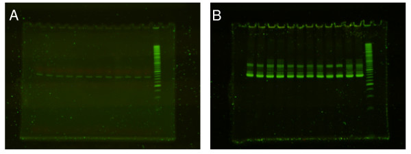 Effect of staining with SYBR Green 1 on PCR gel . A: Before staining. B: After staining. Before electrophoresis SYBR Green1 was added to marker but not to samples.