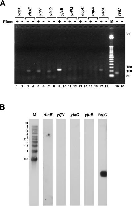 Detection of antisense transcripts by RT–PCR and northern analysis. ( A ) RT–PCR was performed with primer sets listed in Supplementary Table S1 and with (plus) and without (minus) RT. The products were analyzed by electrophoresis on 2% agarose gels. Lanes 1 and 2, ygeH antisense transcript (expected size, 124 bp); lanes 3 and 4, rhsE antisense transcript (expected size, 95 bp); lanes 5 and 6, yfjN antisense transcript (expected size, 92 bp); lanes 7 and 8, yiaO antisense transcript (expected size, 87 bp); lanes 9 and 10, yjcE antisense transcript (expected size, 103 bp); lanes 11 and 12, ydiM antisense transcript (expected size, 114 bp); lanes 13 and 14, ecpD antisense transcript (expected size, 119 bp); lanes 15 and 16, topA antisense transcript (expected size, 101 bp); lanes 17 and 18, yehI antisense transcript (expected size, 108 bp); lane M for 50 bp ladder size marker and lanes 19 and 20, RyjC RNA (expected size, 77 bp). The lack of correlation between the RT–PCR signal and β-galactosidase activity may be due to differences in the hybridization efficiencies for the primer pairs used. ( B ) Total RNA separated on 1% agarose gels and transferred to nylon membranes was probed with primers to the antisense strands of rhsE , yfjN , yiaO and yjcE as well as to the 77 nt antisense RNA RyjC. RNA molecular weight markers were run with each set of samples for direct estimation of RNA transcript length, but the RNA marker lane for only one of the panels is shown.