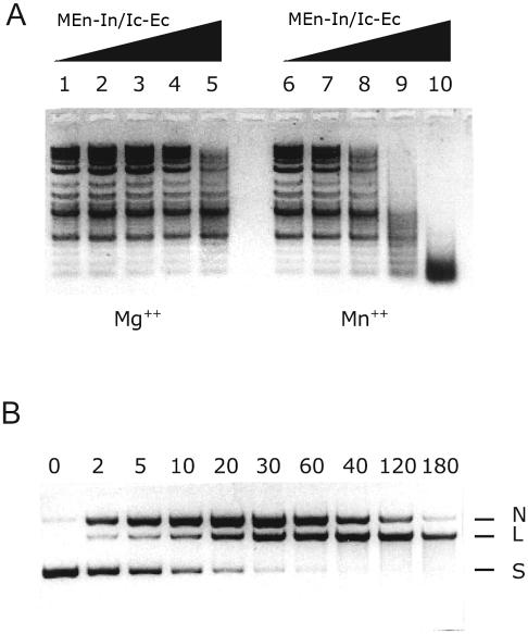 ( A ) Determination of non-specific nuclease activity of SCD protein. Variable amounts of purified MEn–In/Ic–Ec were incubated with 1 µg of 2-log DNA ladder (NEB) in 20 µl of either Mg 2+ or Mn 2+ buffer at 37°C for 1 h. The digests were resolved on a 1.2% agarose gel. From lane 1 to 5, digests with 0.00, 0.125, 0.25, 0.5 and 1.0 µg of MEn–In/Ic–Ec in Mg 2+ buffer, respectively. From lane 6 to 10, digests are the same as from lane 1 to 5 except for using Mn 2+ buffer. ( B ) Identification of nicked strands as intermediate products of reaction by SCD protein. Plasmid pUC19 was incubated with MEn–In/Ic–Ec in Mg 2+ buffer at 37°C. At variable time point 0, 2, 5, 10, 20, 30, 40, 60, 120 and 180 min an aliquot of sample was withdrawn from the reaction and resolved on an agarose gel. L, N and S stand for linear, nicked and supercoiled plasmids, respectively.