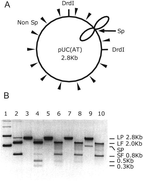 Determination of the ratio of structure-specific to non-specific activity of SCD protein by agarose gel-electrophoresis. ( A ) Schematic illustration of possible linearization sites on pUC(AT) by both specific and non-specific activities of SCD protein. The long arrow represents the specific activity (Sp) that leads the plasmid to open at the cruciform site. The short arrows represent the non-specific activity (Non sp) that leads the plasmid to open at variable sites. ( B ) LP and SP stand for linear and supercoiled form plasmids, respectively; LF and SF for the large and the small fragments produced by DrdI digestion respectively. Lane 1, pUC(AT); lane 2, pUC(AT) cut by DrdI (a small amount of linear plasmid was produced by incomplete digestion); lane 3, linear pUC(AT) produced by T7 Endo I; lane 4, the DNA in lane 3 cut by DrdI; lane 5, linear pUC(AT) produced by MEn–In/Ic–Ec; lane 6, the DNA in lane 5 cut by DrdI; lane 7, linear pUC(AT) produced by MEn–In(9)/Ic–Ec; lane 8, the DNA in lane 7 cut by DrdI; lane 9, linear pUC19 produced by MEn–In/Ic–Ec (a small amount of supercoiled plasmid is co-purified with the linear form); lane 10, the DNA in lane 9 cut by DrdI. Each lane contained ∼1 µg of DNA. All the linear plasmids used in the assay were gel-purified.