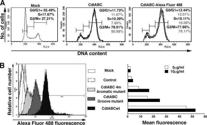 The Activity of CDT Holotoxin Labeled with Alexa Fluor 488 (A) The toxicity of CDT holotoxin labeled with Alexa Fluor 488. HeLa cells were treated with 1 ng/ml (black) or 10 ng/ml (gray) concentration of unconjugated or Alexa Fluor 488−conjugated CDT for 3 hr at 37°C, 5% CO 2 . Cells were processed 48 hr after holotoxin treatment, and DNA content was measured by flow cytometry. The calculated percentages of cells in G0/G1, S, and G2/M are shown. (B) Binding of CDT-Alexa Fluor 488 to cells. Harvested HeLa cells were exposed for 2 hr to 5 and 10 μg/ml concentration of wild-type or mutant CDT-Alexa Fluor 488. The histogram shows the binding of 5 or 10 μg/ml concentration of wild-type and mutant CDT-Alexa Fluor 488 conjugates to HeLa cells. Mock represents cells in buffer only (2% FCS in PBS), and control is goat anti-mouse IgG conjugated with Alexa Fluor 488, which does not bind to HeLa cells. The level of fluorescence was analyzed by flow cytometry. The relative levels of fluorescent labeling of wild-type and mutant CDT holotoxin was maintained to be nearly equivalent, with the mutant holotoxins (groove and aromatic patch) possessing a slightly higher level of labeling than the wild-type (Materials and Methods).