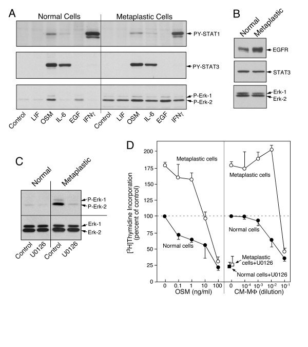 Deregulated ERK signalling in metaplastic epithelial cells . A . Paired cultures of epithelial cells (EC-85) were analyzed by immunoblotting for cytokine-mediated phosphorylation of <t>STAT1,</t> STAT3 and ERK. Basal level of phosphorylated ERK but not of phosphorylated STATs is elevated. B , Expression of <t>EGFR,</t> STAT3 and ERK in the untreated cultures was determined by immunoblotting. C , Cultures of normal and metaplastic cells were treated for 3 h with serum-free RPMI containing 0.1% carrier DMSO or the same medium with 10 μM U0126. The level of phosphorylated ERK was determined by immunoblotting. D , DNA synthesis was determined in response to treatment with serially diluted OSM and conditioned medium of LPS activated macrophages. One set of cultures of normal and metaplastic cells were also treated for 3 hour with 10 μM U0126 in normal growth medium prior to the addition of [ 3 H]thymidine. The incorporation of [ 3 H]thymidine (mean and range of duplicate cultures) were normalized to the number of cells and expressed relative to the values determined for the control cultures of the normal epithelial cells.
