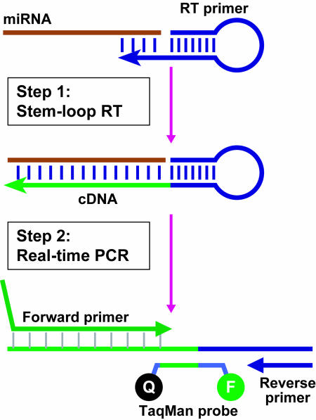 Schematic description of TaqMan miRNA assays, TaqMan-based real-time quantification of miRNAs includes two steps, stem–loop RT and real-time PCR. Stem–loop RT primers bind to at the 3′ portion of miRNA molecules and are reverse transcribed with reverse transcriptase. Then, the RT product is quantified using conventional TaqMan PCR that includes miRNA-specific forward primer, reverse primer and a dye-labeled TaqMan probes. The purpose of tailed forward primer at 5′ is to increase its melting temperature (Tm) depending on the sequence composition of miRNA molecules.
