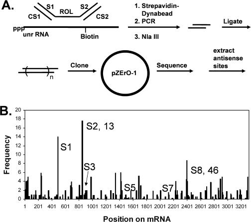 SAABS assay. ( A ) SAABS procedure. A random 8mer oligodeoxynucleotide library (ROL) flanked by two PCR tags is first incubated with biotinylated mRNA. The mRNA bound ODN is then separated from free ODN by binding the biotinylated mRNA to a streptavidin coated Dynabead, which is then separated from the unbound sequence by a magnetic field. The bound sequence is then PCR amplified with S1 and CS2, restricted with NlaIII, concatenated by ligation, cloned in pZErO-1 and sequenced. ( B ) Frequency distribution of the antisense binding sites on the unr mRNA obtained from the SAABS assay. The 8mer sequences were retrieved from the sequenced clones and aligned with the mRNA sequence. Some of the sites identified correspond to sites found by the RT-ROL assay (13 and 46), whereas others were uniquely detected by the SAABS assay and denoted with an S prefix (S1, S3, S5 and S7).