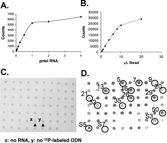 Dynabead-based dot blot assay to determine relative binding affinity of ODNs. ( A ) Determining the loading capacity of the streptavidin coated Dynabead by titrating 20 µl of bead solution in 40 µl total volume of 0.5 M NaCl with biotinylated radiolabeled unr mRNA. ( B ) Determining the µl of Dynabead bound RNA needed to completely bind 1 pmol of ODN5 in a total volume of 40 µl. ( C and D ) Solutions of RNA were incubated with 1 pmol of ODN [1–54 from RT-ROL assay and 57–68 (S1-S12) from the SAABS assay] and then incubated with 10 µl of Dynabeads and spotted on Nylon membrane. (C) is a photograph of blot showing equal loading of beads. (D) is a radiogram showing relative amounts of retained ODN. ODNs corresponding to circled spots were further studied by quantitative methods.