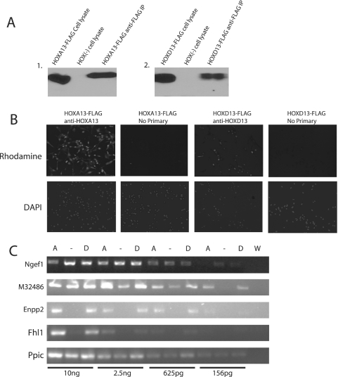 Characterization of HOXA13-FLAG/EGFP or HOXD13-FLAG/EGFP expressing cells. ( A ) Western blot using HOX-specific antibodies demonstrating HOXA13 expression and anti-FLAG immunoprecipitation from HOXA13-FLAG cell line and absent HOXA13 expression in the HOX (−) cell line ( 1 ); HOXD13-FLAG expression and anti-FLAG immunoprecipitation from HOXD13-FLAG cell line but absent HOXD13 expression in the HOX (−) cell line ( 2 ). ( B ) Immunocytochemistry using Hox specific antibodies and DAPI staining demonstrate expression and nuclear localization of HOXA13 or HOXD13 in their respective cell lines. ( C ) Input RNA using serial dilutions ranging from 156 pg to 10 ng was used in semi-quantitative RT–PCR to look for expression changes of four reported targets. Fhl1 (+6-fold), Enpp2 (+18.8-fold) and M32486 (+2.3) are upregulated in the HOXA13-FLAG (A) and HOXD13-FLAG (D) cell lines and Ngef (−2.4) is downregulated compared to HOX (−). Water (W) was used as a PCR control. Ppic was a loading control and was shown to be unchanged in the HOXA13-FLAG and HOXD13-FLAG cell lines.