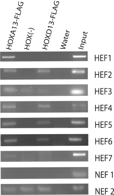 Representative PCR enrichment of HEFs. ChIP was performed in HOXA13-FLAG, HOX (−) and HOXD13-FLAG cell lines using anti-FLAG agarose. PCR detection was performed using primers specific to each HEF, NEF1 and NEF2. NEF1 resulted in no detectable product for each cellular sample and NEF2 resulted in product with no detectable difference between the HOXA13-FLAG or HOXD13-FLAG cell lines and the HOX (−) cells. Water was used as a negative PCR control and input ChIP DNA from the HOX (−) cells was used as the positive PCR control.