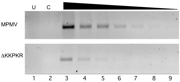 RT-PCR analysis of genome packaging in wild-type M-PMV and ΔKKPKR virions. Purified RNA from equivalent amounts of virus was diluted 1:1,000 (lane 3) followed by 2-fold serial dilutions to 1:96,000 (lane 9). First-strand cDNA synthesis was carried out using M-MLV RT and followed by PCR using oligos that amplify M-PMV CA sequences. Relative viral RNA packaging efficiencies were estimated by determining the end-point dilution in which viral PCR products could be detected by Ethidium bromide staining. U, untransfected (lane 1); C, RNA control – no reverse transcriptase added to RT-PCR reaction (lane 2).