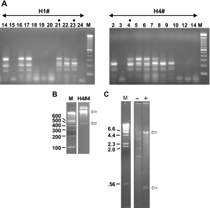 (A) Colony PCR analysis of yeast clones obtained from H1 and H4 genomic DNA by the method shown in Figure 1B . Ligated samples (see legend, Figure 2 ) were used to transform S.cerevisiae . In contrast to results with E.coli ( Figure 2 ), full-length candidate clones were obtained. Lanes with dots are from colonies used in further analyses (see text). The DNA ladder is as in Figures 1 and 2 . ( B ) Verification of clone structure. To confirm the structure of the full-length candidates, yeast minipreps were treated with EcoR1 and subjected to random-primed rolling circle amplification with phi-29 DNA polymerase. As an example, H4#4 is displayed on a 2.5% agarose gel after diagnostic digestion with Xbal and PvuII. Upper and lower arrows indicate the vector backbone and insert bands, respectively. ( C ) Efficacy of the EcoR1 pre-digestion. The EcoR1 pre-treated sample in B ('+') is run on a 1% agarose gel alongside an untreated ('−') miniprep of H4#4. Treated and untreated samples were phi-29 amplified in parallel and digested with XbaI and PvuII. Bands evident in the untreated lane correspond in size to those predicted for 2 µ circle DNA. Bands observed with EcoR1 pre-treatment (arrows) correspond to the pYes2.1 vector and insert.