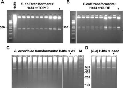 Side-by-side comparison of microbial hosts for their ability to maintain the same plasmid. ( A ) Universal deletion in E.coli <t>Top</t> 10 cells. Plasmids re-isolated from TOP 10 clones transformed with the H4#4 plasmid are deleted. Each was XbaI and PvuII digested. H4#4 DNA (also cut with XbaI and PvuII after a phi-29 amplification) is loaded adjacent to the marker lane. Note, a different 100 bp ladder was used here (New England Biolabs) which has an intense 500 bp rather than 600 bp band as in previous figures. ( B ) Instability of the H4#4 plasmid in E.coli SURE cells. Plasmid DNA from individual SURE H4#4 transformants is a mixture of deleted and apparently non-deleted forms despite the lack of a functional SbcCD nuclease. The gel image was cut to remove one lane. ( C ) Stability of H4#4 plasmid in wild-type yeast. Phi-29 amplified <t>minipreparations</t> of DNA from random wild-type yeast clones transformed with H4#4 DNA were digested with XbaI and PvuII. Full-length inserts are observed. ( D ) Phi-29 amplified minipreparations of DNA from random sae2 yeast clones transformed and analyzed as in (C). In A–D, dots mark samples from colonies that were re-streaked as described in the text.