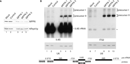 Knock down of MPP6 by RNAi leads to the accumulation of 5.8S rRNA precursors. ( A ) HEp-2 cells were transiently transfected with three different siRNAs to MPP6 (100 pmol), control siRNA or buffer (mock). Cells were harvested 2 days after transfection and 75 µg of total protein was analysed by western blotting using a polyclonal anti-MPP6 serum or a polyclonal anti-hRrp41p serum (control). ( B ) Northern analysis of 5.8S rRNA processing upon MPP6 knock down. Total RNA (5 µg) from (mock) transfected cells was analysed by northern blot hybridization using radiolabelled probes specific for 5.8S rRNA (left) or ITS2 (right). The relative positions of these probes, and also the other probes used, with respect to the primary rRNA transcript are depicted in the scheme below the autoradiographs. Note that the size of the probes is not proportional to that of the pre-rRNA. As a control, a U6 snRNA probe was used. The positions of 5.8S rRNA and its precursors (I and II) are indicated. The asterisk in the right panel points to a weak cross-hybridization of the ITS2 probe with the mature 5.8S rRNA.