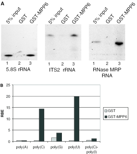 GST-tagged MPP6 binds to in vitro transcribed RNAs and prefers polypyrimidines. ( A ) GST and GST-MPP6 recombinant proteins were incubated with radiolabeled, in vitro transcribed full-length 5.8S rRNA, ITS2 rRNA (a fragment corresponding to the most 5′ 300 nt) and RNase MRP RNA. Binding to these RNAs was assayed by GST pull-down followed by denaturing gel electrophoresis and autoradiography. Five percent of the input RNA was loaded in lanes 1. Lanes 2 and 3 contain the material precipitated by GST alone and GST-MPP6, respectively. ( B ) Binding of GST and GST–MPP6 fusion proteins to radiolabelled homopolynucleotides was analysed as described above and the bound RNAs were quantified in a scintillation counter. The binding efficiency of GST or GST-MPP6 with poly(A), poly(C), poly(G), poly(U) and poly(C)–ply(I) is depicted as a percentage of input RNA (RBE: relative binding efficiency). These results are the averages of two independent experiments.