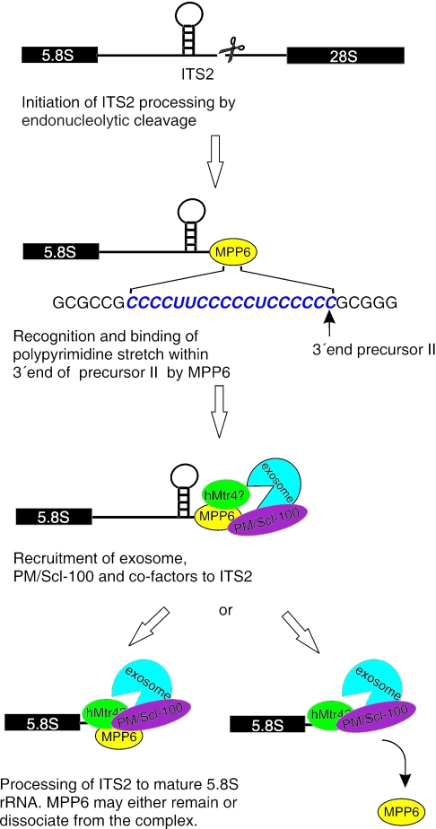 Model for the role of MPP6 in pre-rRNA processing. Before, or directly after cleavage of the pre-rRNA in ITS2 by a yet unknown endoribonuclease, MPP6 binds to oligopyrimidine stretches in the ITS2 RNA and subsequently recruits the PM/Scl-100-containing exosome and probably several additional factors, like hMtr4p or an hMtr4p containing complex. This is in agreement with the reported two-hybrid interactions between MPP6 and PM/Scl-100 and between MPP6 and hMtr4p ( 25 ). The exosome will then process the ITS2 RNA to generate the mature 5.8S rRNA. MPP6 may either remain associated with the processing complex or dissociate once the exosome starts the digestion.