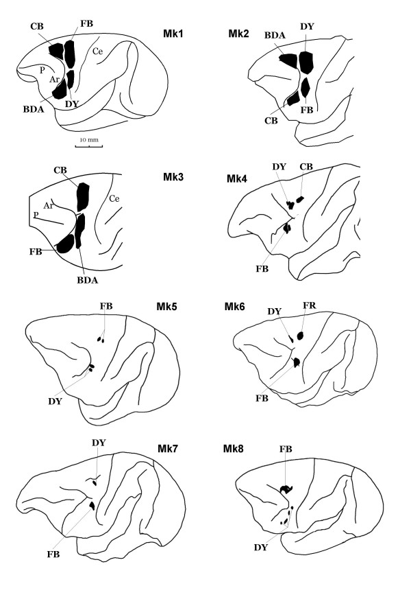 Reconstruction of the injection sites on a lateral view of the left hemisphere of the 8 monkeys included in the present study. Tracers : biotinylated dextran amine (BDA), diamidino yellow (DY), fast blue (FB), fluoro ruby (FR), cholera-toxin B subunit (CB). For other abbreviations, see Fig. 1.