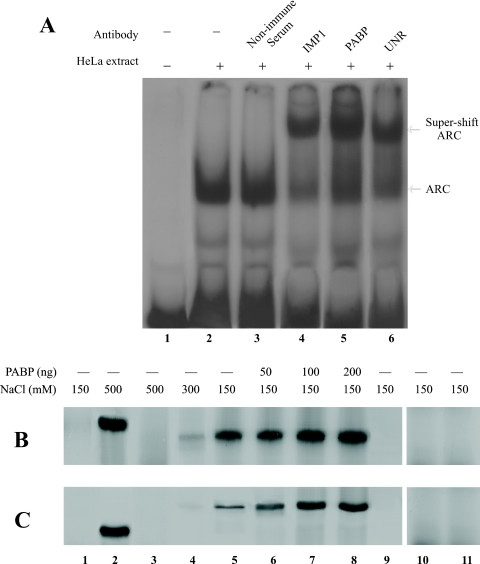 Interaction of IMP1 and UNR with RNA. ( A ) Presence of IMP1, PABP and UNR in the ARS RNA–protein complex. REMSA was performed using [ 32 P]-labeled ARS RNA and HeLa cell extract as described. Cell extract (≈20 µg) was incubated with ≈1 µg of either non-immunized serum (lane 3), IMP1 (lane 4), PABP (lane 5) or UNR (lane 6) antibody for 10 min on ice prior to the addition of the labeled ARS RNA (≈1 ng, 1 × 10 5 c.p.m.). Samples were subjected to 5% PAGE under non-denaturing conditions. ( B ) Binding of IMP1 to the ARS RNA. [ 35 S]methionine labeled 6× His-tagged IMP1, PABP, UNR and β-galactosidase were expressed in E.coli and purified by Ni-NTA agarose as described in Materials and Methods. The purified polypeptides were incubated with ARS or poly(A) 50 –agarose beads and the bound proteins were eluted by boiling the beads in protein sample loading buffer and analyzed by 10% SDS–PAGE. In some binding reactions the indicated amount of purified non-radiolabeled PABP was added. Lane 1, [ 35 S]methionine labeled total cell extract from non-transformed E.coli DH5α; Lane 2, [ 35 S]methionine labeled PABP; Lanes 3–5, [ 35 S]methionine labeled IMP1 at different NaCl concentration; Lanes 6–8, [ 35 S]methionine labeled IMP1 and indicated amount of unlabeled PABP. Lane 9, [ 35 S]methionine labeled Luciferase. Lane 10, [ 35 S]methionine labeled His-tagged β-galactosidase. Lane 11, binding of IMP1 to poly(A) 50 –agarose. ( C ) Binding of UNR to the ARS RNA. Experiment was performed under similar conditions as in (B). Lanes 1, 2, 9 and 10 are same as in (A); Lanes 3–5, [ 35 S]methionine labeled UNR at different NaCl concentration; Lane 6–8, [ 35 S]methionine labeled UNR and indicated amount of unlabeled PABP. Lane 11, binding of UNR to poly(A) 50 –agarose.