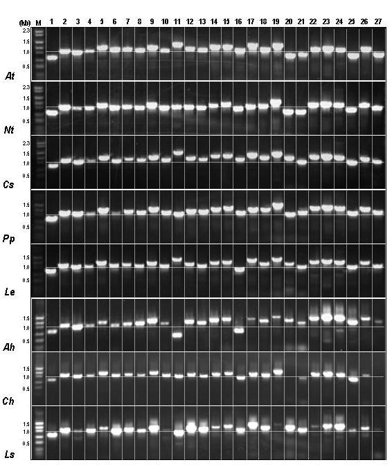 Composite ASAP PCR profiles from 8 plant species . At – Arabidopsis thaliana , Nt – Nicotiana tabacum , Cs – Citrus sinensis , Pp – Prunus persica , Le – Lycopersicon esculentum , Ah – Amaranthus hypochondriacus , Ch – Coleus hybrida and Ls – Lactuca sativa . Horizontal lines across each species indicate 1 kb size. Vertical columns indicate the amplicons generated from a given primer pair in the 8 plant species.