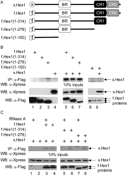The C-terminal domain and 7SK snRNA mediate the oligomerization of HEXIM1. ( A ) Schematic diagram of Hex1 proteins used. The signs at their N-termini depict the respective tags. ( B ) HEXIM1 forms oligomers. The x.Hex1 and f.Hex1 proteins were either expressed alone (lanes 4 and 1, 2, 3, 8, respectively) or f.Hex1 was co-expressed with x.Hex1 in HeLa cells (lanes 5–7 and 9) as indicated. Lysates were co-immunoprecipitated with anti-FLAG agarose beads and immunoprecipitates of x.Hex1 were identified as presented on the upper western blot (WB). The middle and lower WB contain 10% of input proteins for immunoprecipitations (IP). Wild-type and mutant HEXIM1 proteins are identified by arrows. ( C ) 7SK snRNA and the C-terminal domain of HEXIM1 mediate the oligomerization of HEXIM1. x.Hex1 was expressed alone (lanes 1 and 2) or with the indicated f.Hex1 proteins (lanes 3–8). IP were performed as in (B) and were treated with RNase A where indicated.